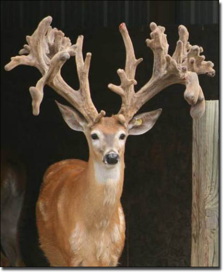 irregular trophy buck